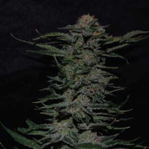 BLACK-IN-Black cannabis plant