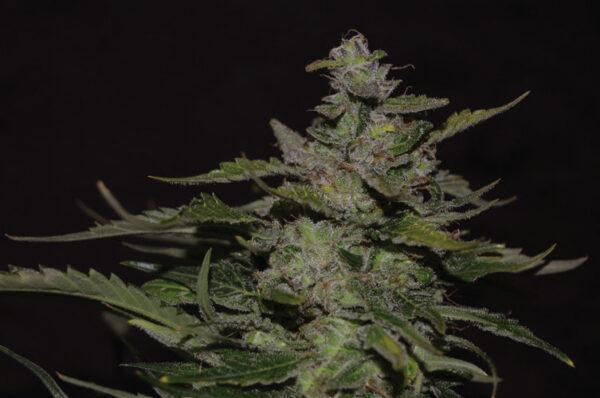 Blueberry-99 cannabis plant