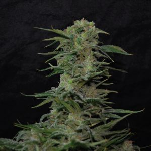 Jawbreaker-47 cannabis plant