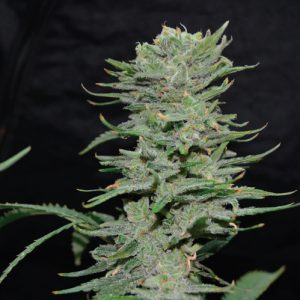 Lemon-Pie cannabis plant