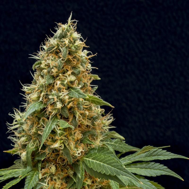 Плод марихуаны лекарство от глаукомы марихуаной