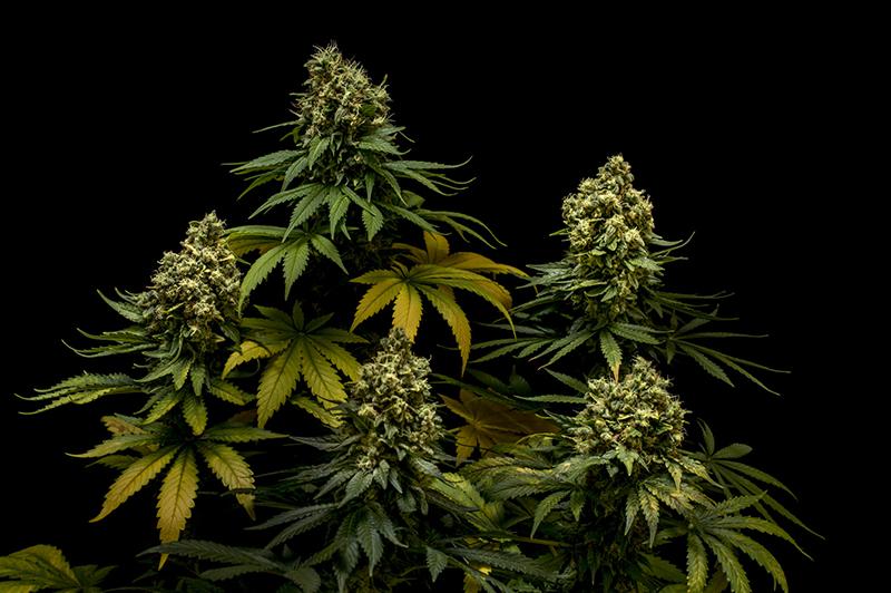 northern-lights-5-critical-cannabis-indica-feminised-seeds-01 jpg